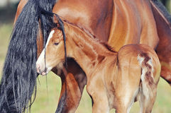 Portrait of funny foal with his mother Stock Photography