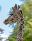Portrait of a funny giraffe Stock Photography