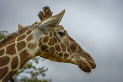 Portrait of a funny giraffe Royalty Free Stock Photo