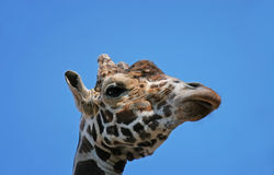 Portrait of a funny giraffe head sleep  sky background. Portrait of a funny giraffe head sleep blue sky background Royalty Free Stock Photo