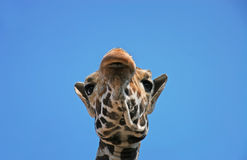 Portrait of a funny giraffe head sleep  sky background. Portrait of a funny giraffe head sleep blue sky background Royalty Free Stock Image
