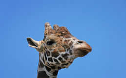 Portrait of a funny giraffe head sleep  sky background. Portrait of a funny giraffe head sleep blue sky background Stock Photos