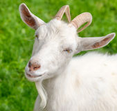 The portrait of funny goat with  beard on background of green grass on the goat farm. White female goat Stock Photos