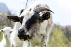 Portrait of a funny goat Stock Photos