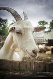 Portrait of funny goat looking to  camera Stock Photos