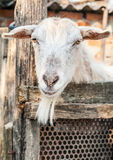 Portrait of a funny goat. Royalty Free Stock Photos