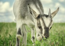 Portrait of a funny goat on the meadow royalty free stock photography