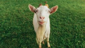 Portrait of funny goat Royalty Free Stock Photo