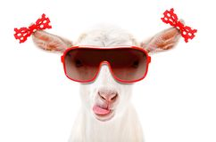 Portrait of a funny goat in a sunglasses with bows on the ears. Isolated on white background stock photography
