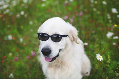 Portrait of funny Golden Retriever dog sitting in the flowers field and wearing sunglasses.  stock images
