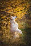 Portrait of funny Golden retriever dog standing on hind legs outdoors in the autumn forest. Portrait of funny and happy dog breed golden retriever standing on stock photography