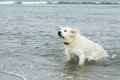 Portrait of funny Golden Retriever dog swimming at the sea. And shaking its head royalty free stock photos