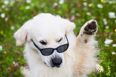 Portrait of funny Golden Retriever dog wearing sunglasses and waving its paw. Close-up Portrait of funny Golden Retriever dog sitting in the flowers field stock photo