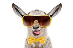 Portrait of funny gray goat in a sunglasses and bow tie, showing the tongue stock photography