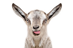 Portrait of funny gray goatling showing tongue
