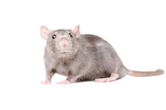 Portrait of funny gray rat Royalty Free Stock Photography