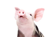 Portrait of a funny grunting pig Stock Images