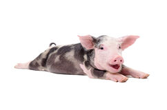 Portrait of a funny grunting pig. Lying isolated on white background Royalty Free Stock Image
