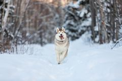 Happy,cute and funny siberian husky dog with tonque hanging out running on the snow in the winter forest. Portrait of funny, happy andcute dog breed siberian stock photography