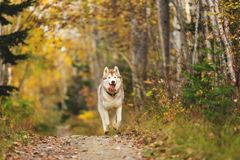 Portrait of funny and happy dog breed Siberian husky running on the path in the bright autumn forest. Portrait of funny and happy dog breed Siberian husky stock photo
