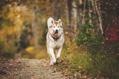 Portrait of funny and happy dog breed Siberian husky running on the path in the bright golden autumn forest. Portrait of cute and happy dog breed Siberian husky stock photo