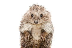 Portrait of a funny hedgehog standing on his hind legs Stock Photography