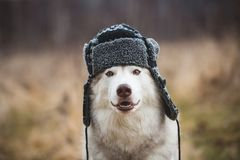 Portrait of Funny husky dog is in warm cap with ear flaps. Close-up image of cute dog breed siberian husky. Image of Funny husky dog is in warm cap with ear royalty free stock photography
