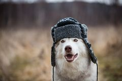 Portrait of Funny husky dog is in warm cap with ear flaps. Close-up image of cute dog breed siberian husky. Image of Funny husky dog is in warm cap with ear royalty free stock images