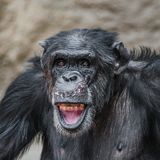 Portrait of funny and laughing Chimpanzee, close up. Adult, male royalty free stock photo