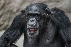 Portrait of funny and laughing Chimpanzee, close up. Adult, male royalty free stock photos