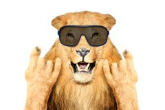 Portrait of a funny lion in sunglasses, showing a rock gesture royalty free stock image