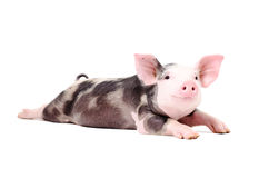 Portrait of a funny little pig, lying with legs outstretched. Isolated on white background stock photos