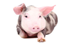 Portrait of the funny little piglet Royalty Free Stock Photos