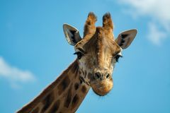 Portrait of funny looking giraffe animal only head and neck close up with blue sky background stock images
