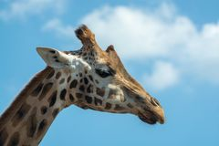 Portrait of funny looking giraffe animal only head and neck close up with blue sky background stock photography