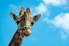Portrait of funny looking giraffe animal only head and neck close up with blue sky background royalty free stock photography
