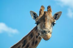 Portrait of funny looking giraffe animal only head and neck close up with blue sky background royalty free stock photos