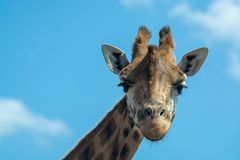 Portrait of funny looking giraffe animal only head and neck close up with blue sky background stock photos