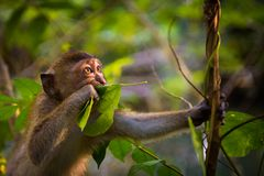 Portrait of a funny macaque monkey in Thailand Stock Images