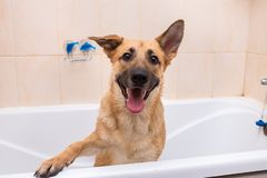 Bathing of the funny mixed breed dog. Dog taking a bubble bath. Grooming dog royalty free stock photos