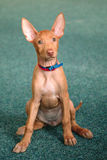Portrait of funny Pharaoh Hound Puppy. At home Royalty Free Stock Photos