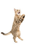 Portrait of funny playful cat Scottish Straight, standing on his hind legs Royalty Free Stock Images