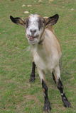 Portrait of funny pose Goat Royalty Free Stock Image