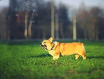 Portrait of funny puppy Corgi walking on green lawn with young grass and catching shiny soap bubbles on Sunny warm spring day. Portrait of funny dog puppy Corgi stock photo