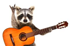 Portrait of a funny raccoon with  acoustic guitar, showing a rock gesture. Isolated on white background royalty free stock photo