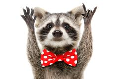 Portrait of a funny raccoon in bow showing a rock gesture. Isolated on white background royalty free stock image