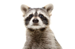 Portrait of a funny raccoon. Closeup, isolated on white background Royalty Free Stock Images
