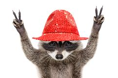 Portrait of a funny raccoon in a red hat, showing a sign peace stock image