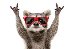 Portrait of a funny raccoon in red sunglasses showing a rock gesture. Isolated on white background royalty free stock photo