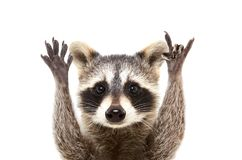 Portrait of a funny raccoon showing a rock gesture. Isolated on white background stock photos
